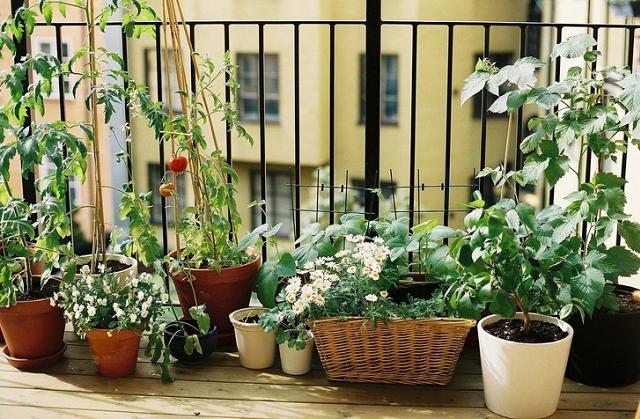Wie pflanze ich auf dem Balkon meines Hauses Rosmarin an