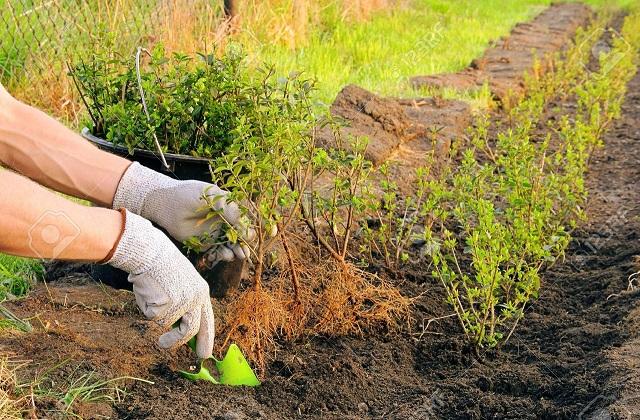 Nützliche Tipps; wie man einen Gartenhag pflanzt