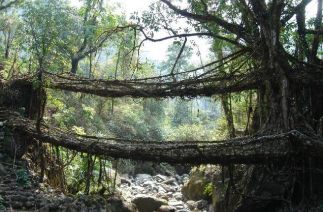 Naturwunder: Brücken aus Kautschuk